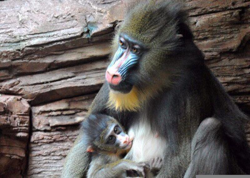 Сотрудники зоопарка рассказали о пополнении в семействе мандрилов