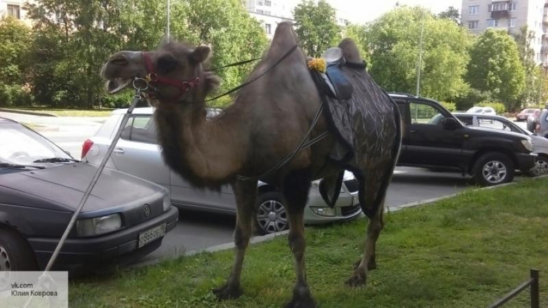 Ниссан предлагает ввести «верблюжью силу» варабском мире