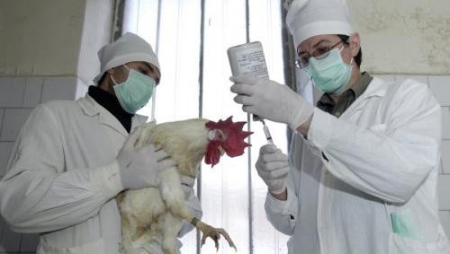 Россельхознадзор объявил опотенциальной угрозе распространения птичьего гриппа в РФ
