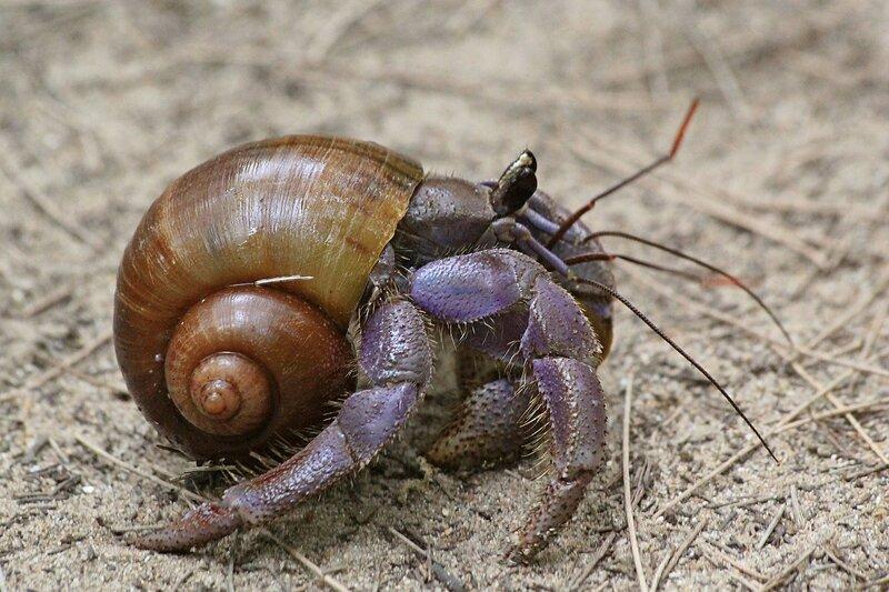 Рак-отшельник внутри своей витой раковины. Был найден внутри кокоса в казуариновом лесу в Bang Niang, Khao Lak, Таиланд