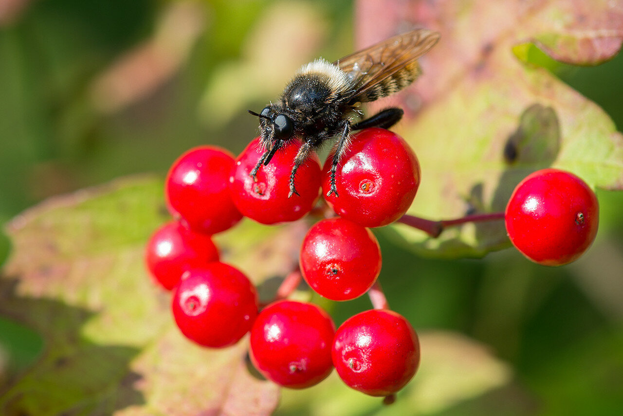 Ляфрия рыжая (Laphria flava) Автор фото: Владимир Брюхов