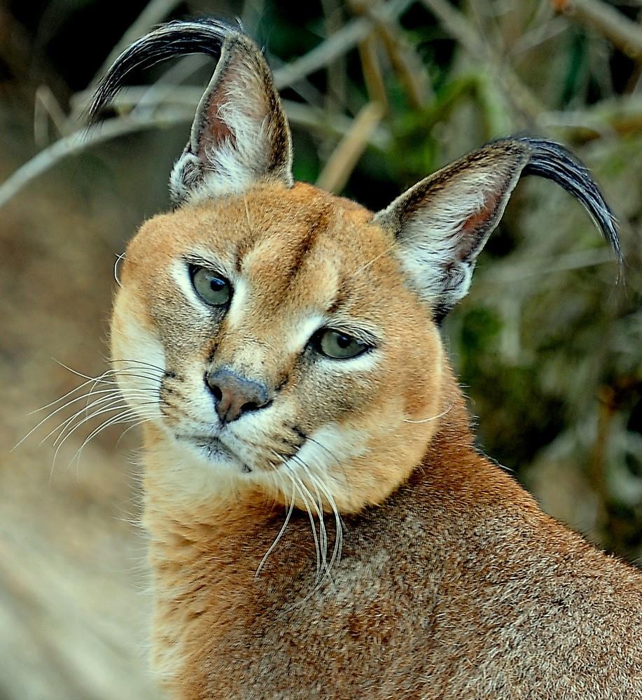 Картинки дикие кошки название