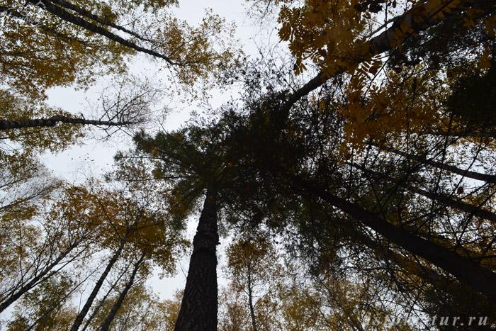верхушки_деревьев_verkhushki_derev'yev