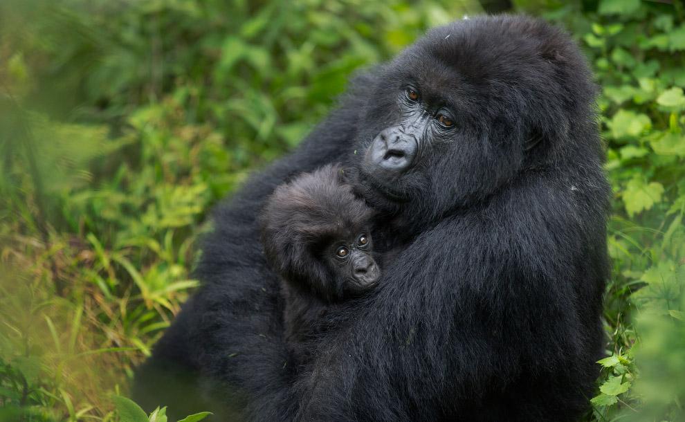 3. Этот подвид занимает второе место по величине среди приматов, уступая только восточным равни