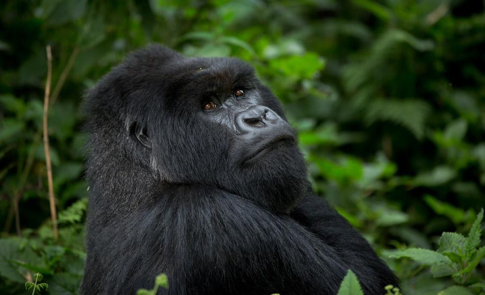 Взрослые самцы могут съесть до 34 кг растительности в день, в то время как самки съедают не бол