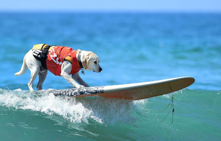 Собачий серфинг в Калифорнии (24 фото)
