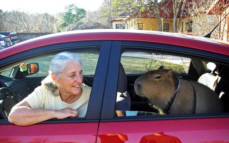 7. Капибара Капибара является полуводным травоядным млекопитающим. Впервые Мелани Типалдос из Техаса