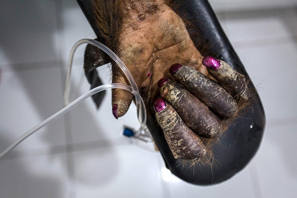 22. Вот такая непростая жизнь у орангутангов в индонезии, они находятся под угрозой исчезновени