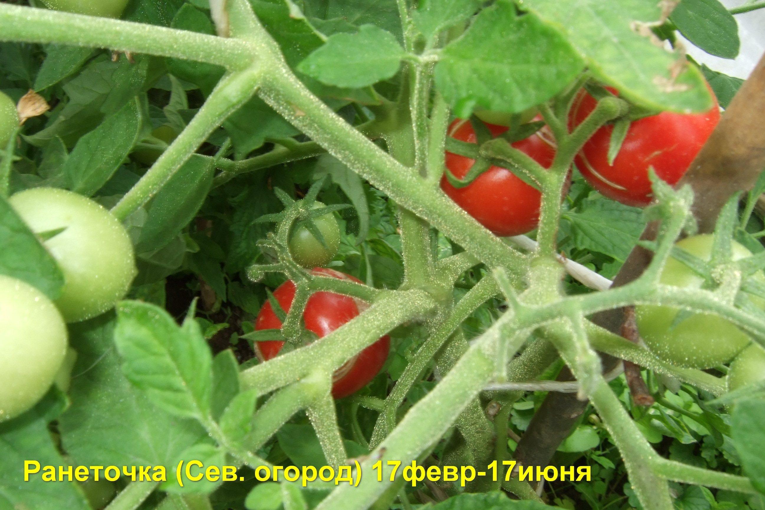 Выращивание ранних томатов от дядьволодь 76