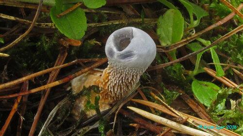 Гиднеллум голубой (Hydnellum caeruleum) Молодые плодовые тела Автор фото: Кром Игорь