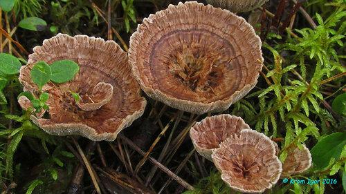 Гиднеллум ямчатый (Hydnellum scrobiculatum) Автор фото: Кром Игорь