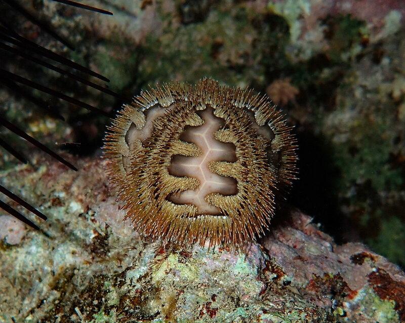 Морской ёж руссо (Microcyphus rousseaui) - Плешивый морской еж