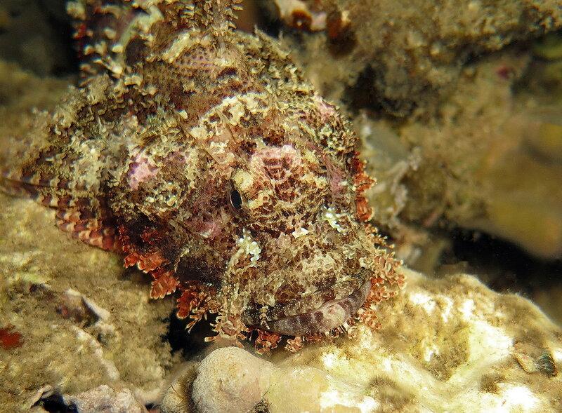 Плоскоголовый скорпенопс (Scorpaenopsis oxycephala)