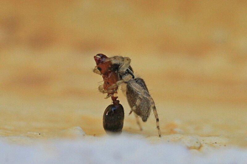 мохнатый и глазастый паук-скакунчик ищет, что бы еще съесть на пожеванной мумии муравья без ног