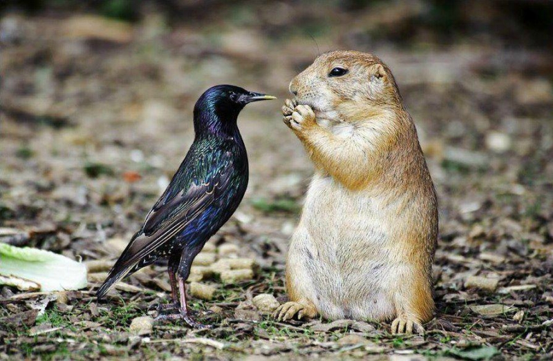 animal-friends-prairie-dog-and-starling.jpg