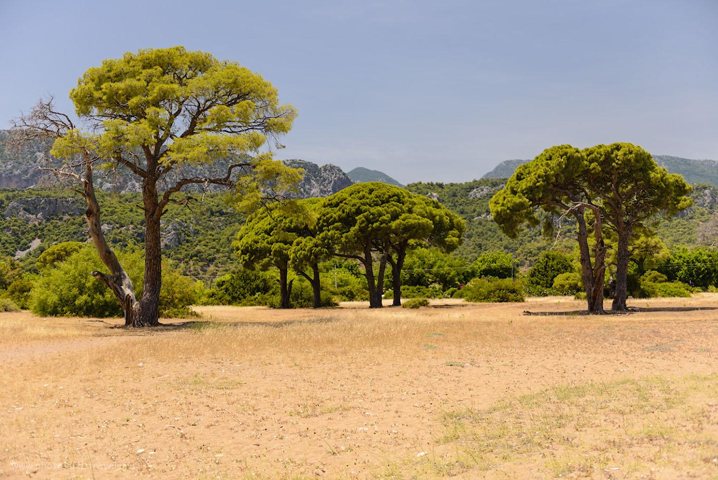Снимок 29. В северной части пляжа Cirali Olympos Beach находится что-то вроде парка с красивыми старинными хвойными деревьями. 1/800, 2.8, 100, 38.