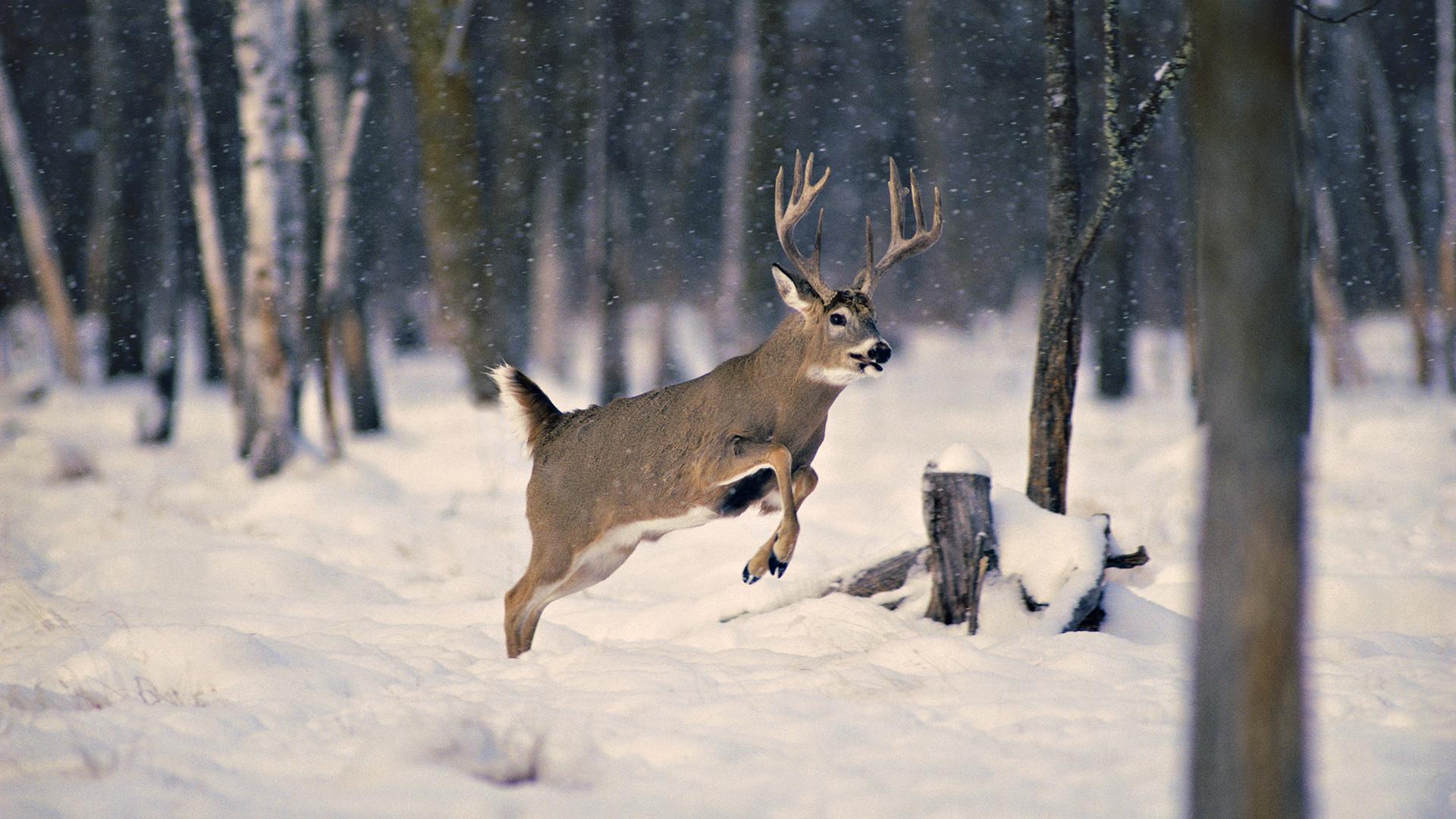 олени лес снег зима смотреть