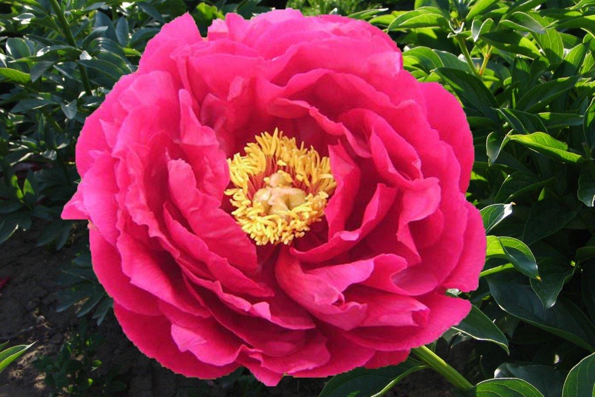 Многолетний цветок Пион (сортовой)