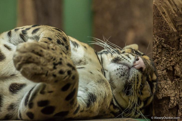 Дымчатый леопард существенно меньше африканского леопарда. Длина его туловища обычно не превышает 80