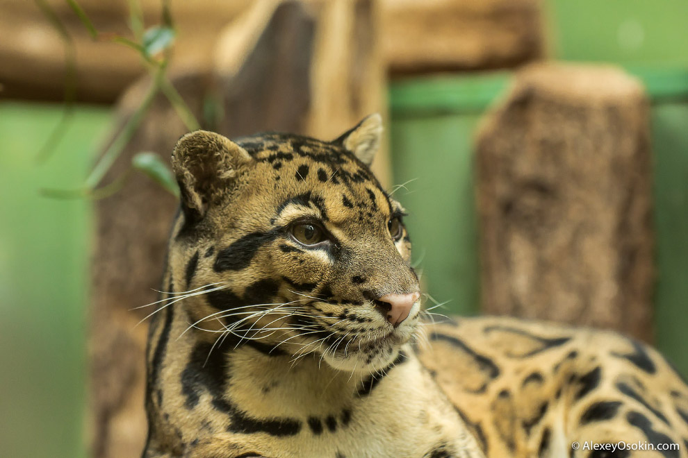 Обитает дымчатый леопарда в горных районах на юго-востоке Азии, обычно на высоте около 2000 мет