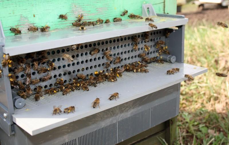 2. Пчела лапками сгребает с себя прилипшую пыльцу и скатывает её в комочки, которые закрепляет на за
