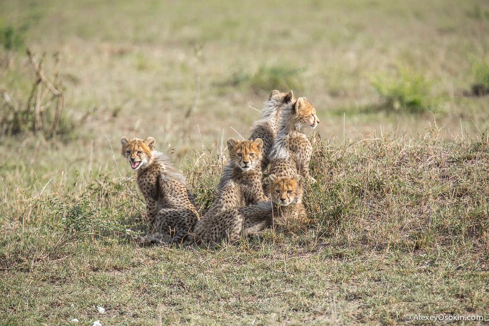 В Масаи-Мара достаточно самок, и вероятность встретить котят очень высока. Здесь нет никакой привязк