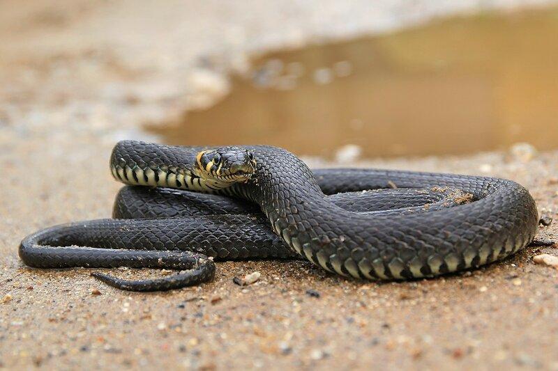 Портрет анфас свернувшегося в клубок ужа (Natrix natrix) черного цвета с жёлтыми «ушками» на песчаной дороге
