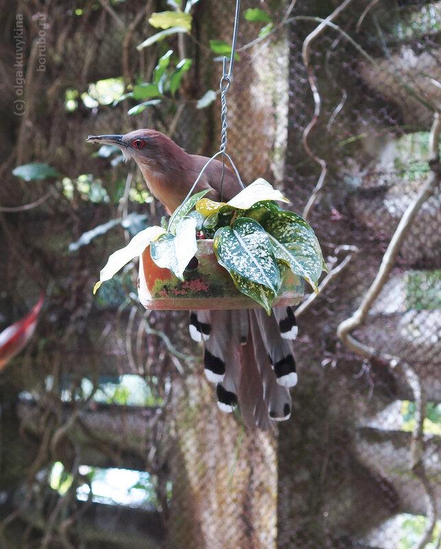 Большая ящеричная кукушка The great lizard cuckoo (Coccyzus merlini)