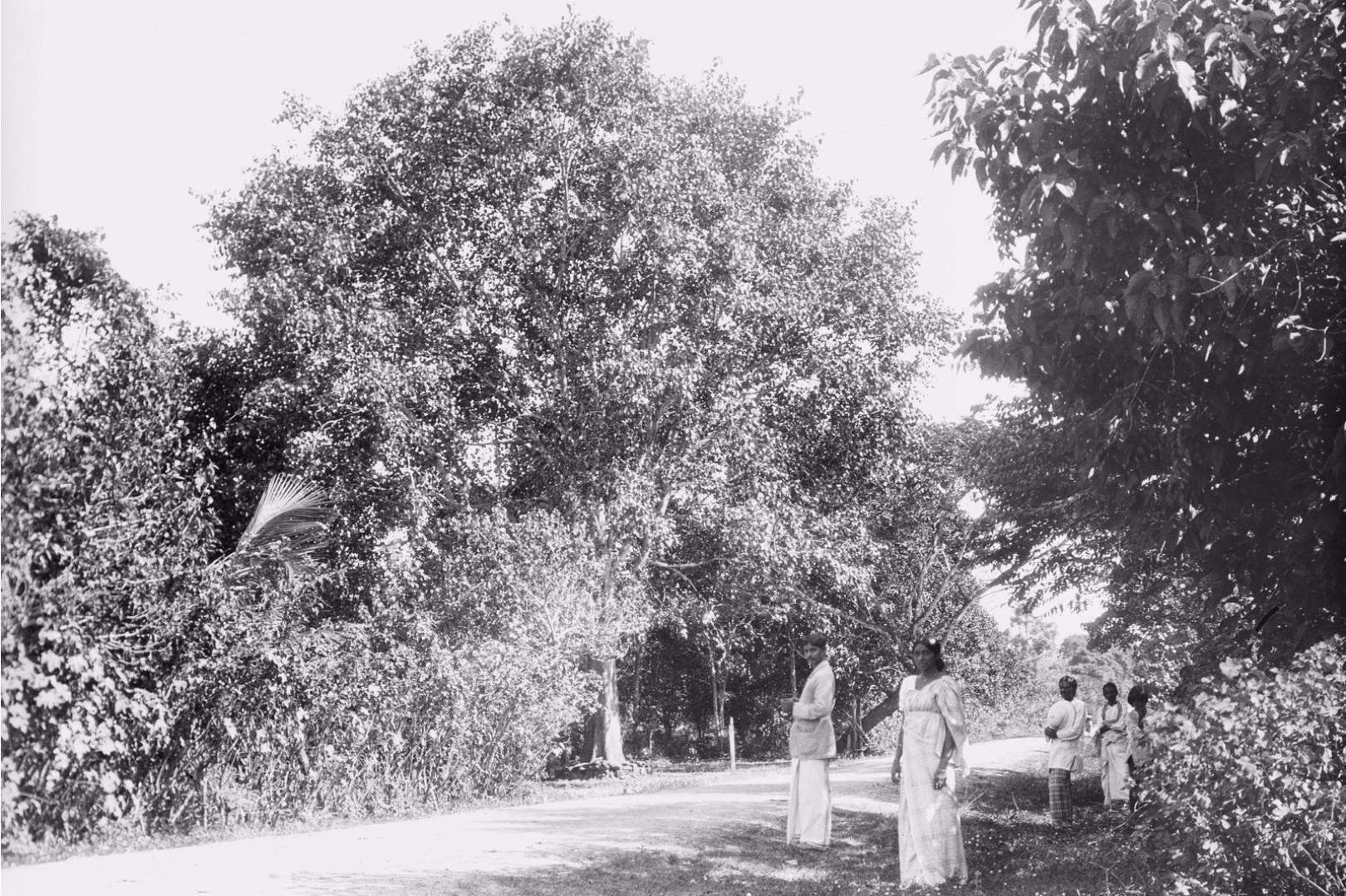 190. Окружной начальник с женой у входа в Валауву. На заднем плане священное дерево Бодхи