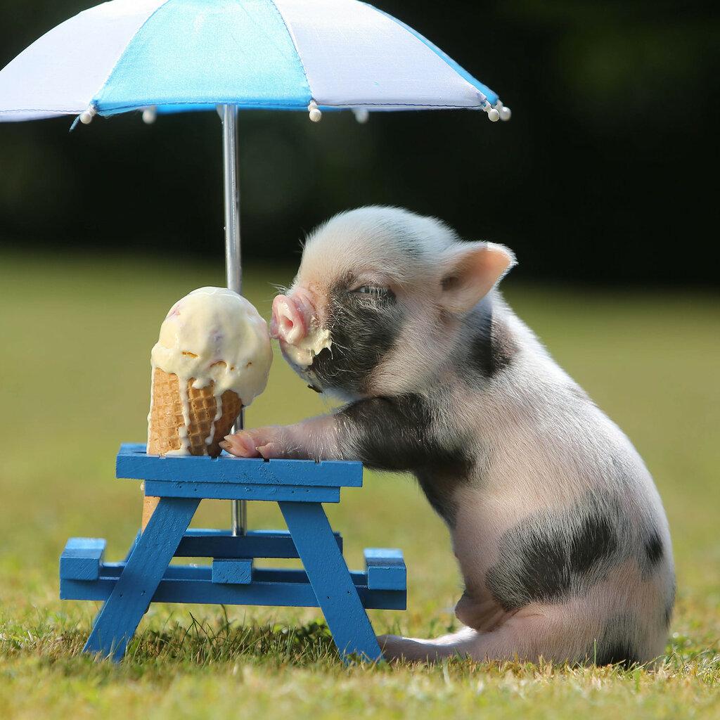 Full grown teacup pigs