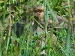Бородатая куропатка