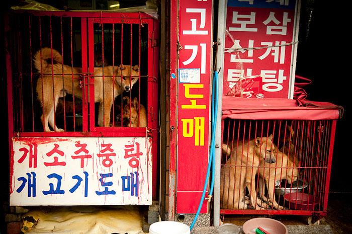 10 жутких кадров, сделанных на собачьих рынках в Северной Корее… Зрелище не для слабонервных! (10 фото)