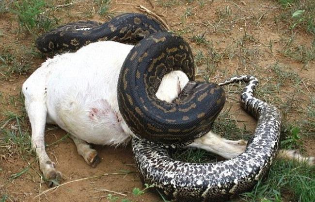 Вскрыв рептилию, люди увидели, что ее живот набит множеством яиц! Змея готовилась со дня на день при