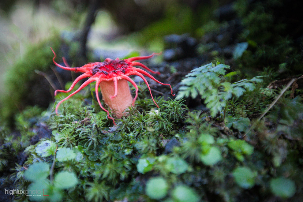 22. Сморчок съедобный, считается одним из самых крупных грибов семейства сморчковых.
