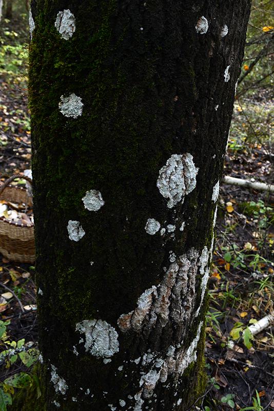 пятнистое дерево 3.jpg