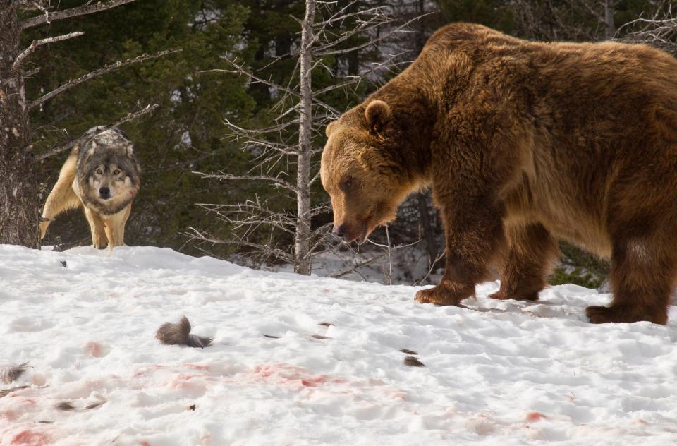 Турист стал свидетелем кровавой схватки гризли со стаей волков