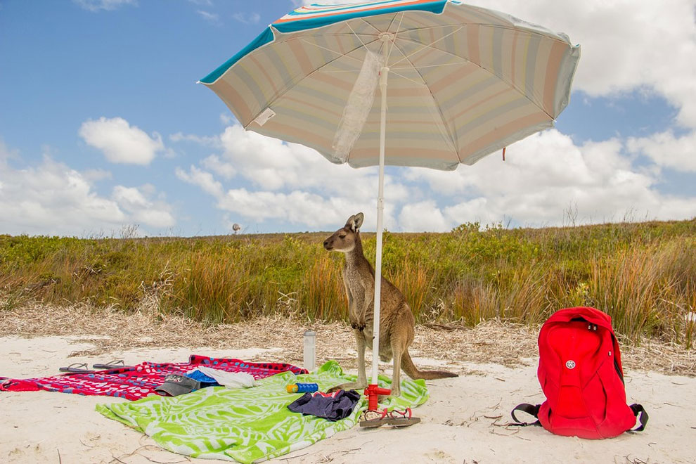 Просто обычный день для кенгуру. Фото: Rosario Losano Cordoba.