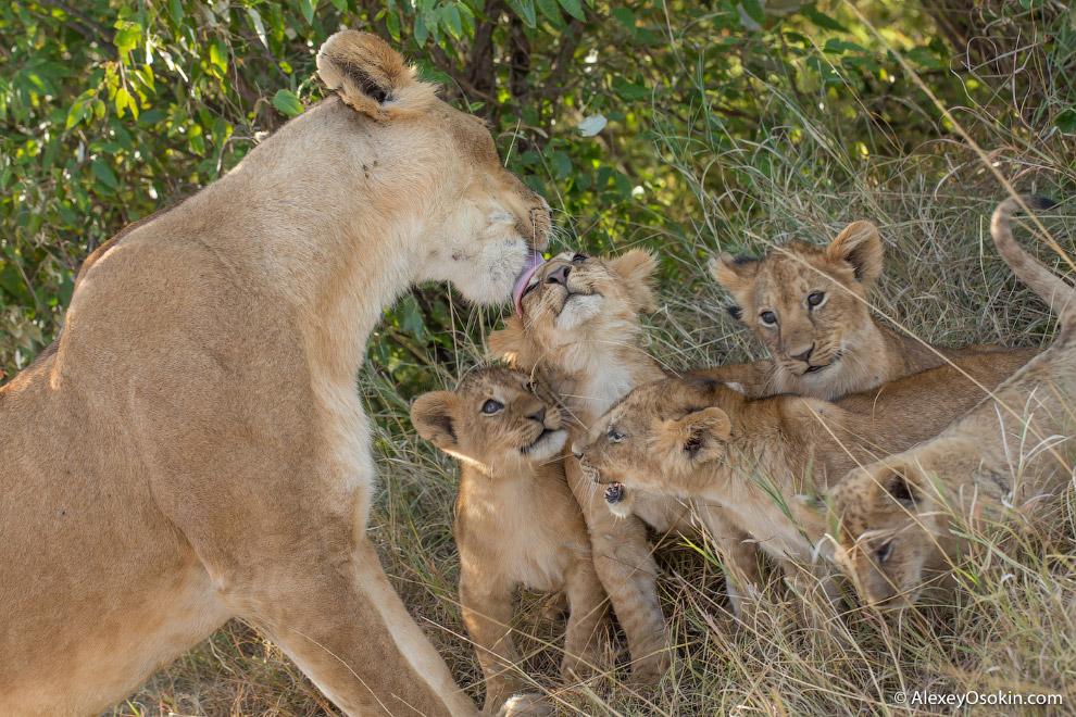 5. Образ жизни львов и тигров сильно отличается. Лев охотится реже, чем тигр, а потому можно пр