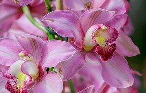 cimbidium-orhideya-makro.jpg
