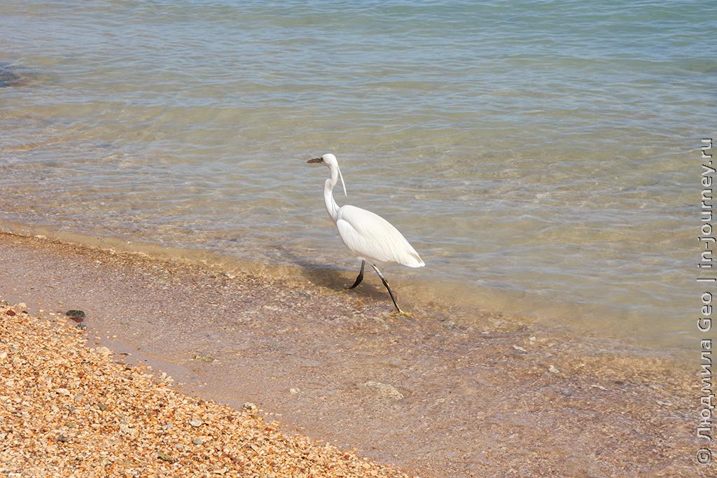 птица на берегу Красного моря