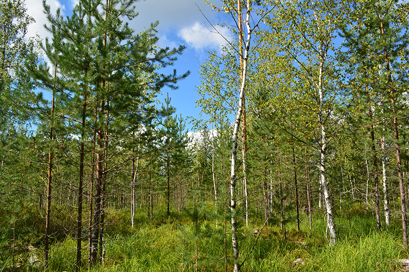 солнечный лес 16 4.jpg