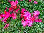 Опадают листья с клёна