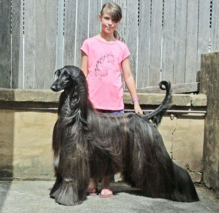 Афганская борзая по кличке Чай   самая красивая собака в мире