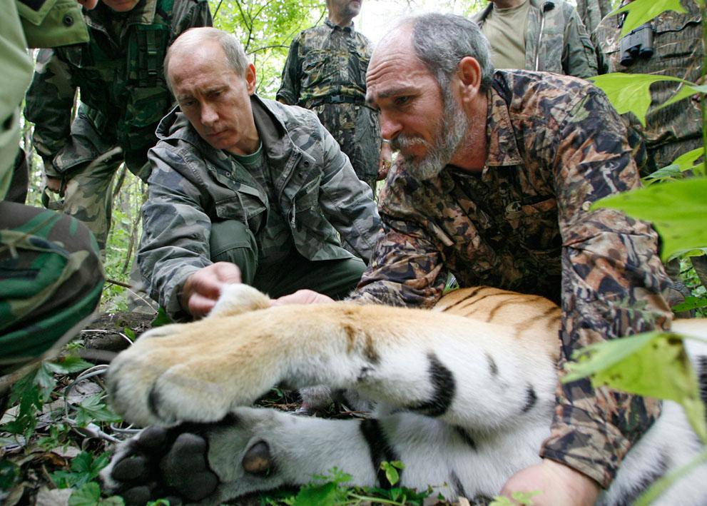 4. Путин и тигр. Владимир Путин держит голову пятилетнего тигра, пока ученые надевают на зверя ошейн