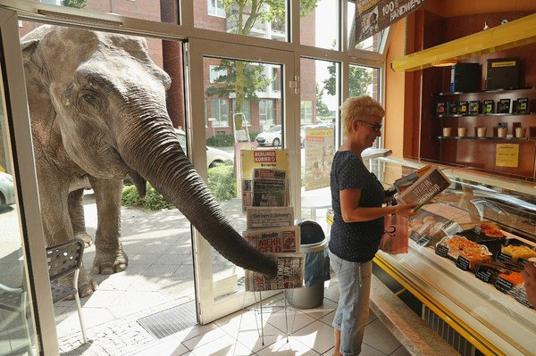 Слон в лавке