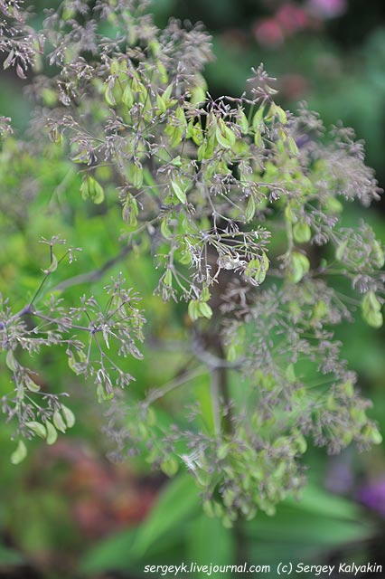 Thalictrum aquilegifolium Black Stockings.JPG