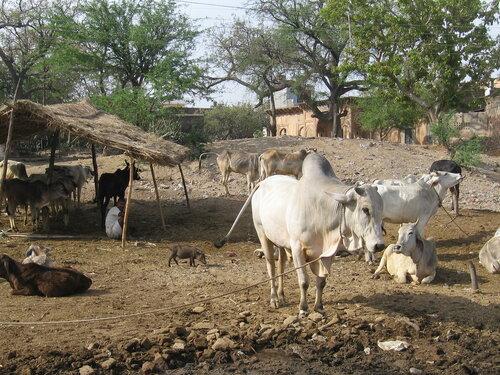 Вриндаван, коровы
