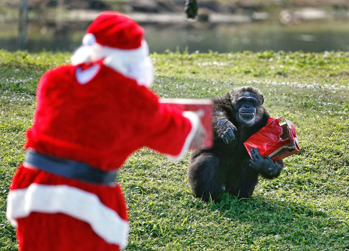 Шимпанзе получает подарок из рук Санта-Клауса в зоопарке города Палм-Бич, Флорида.