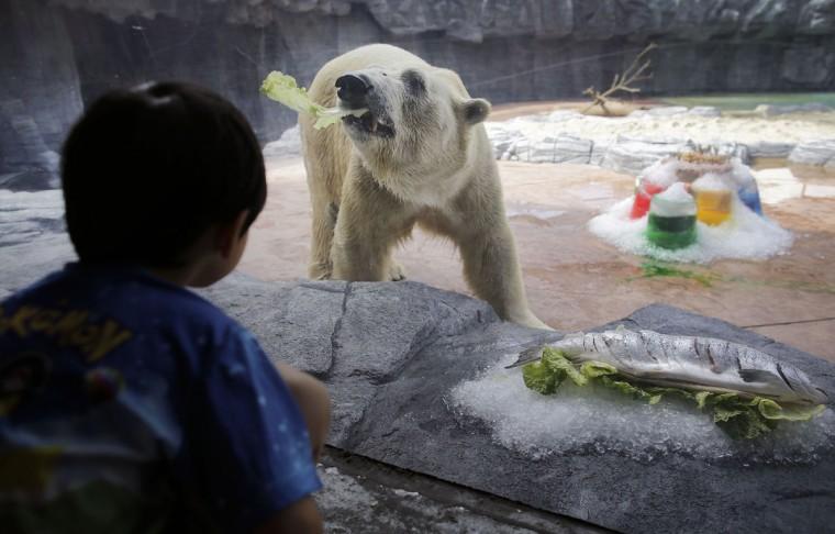 А у полярного медведя Инука из Сингапура двойной праздник. 25 декабря он отпраздновал свой 26-й день