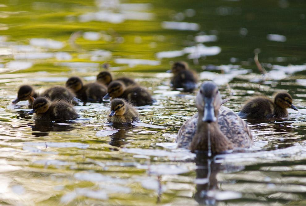 3. Если вы вдруг встретили утку, у которой больше 10 птенцов, то можно с большой долей вероятно